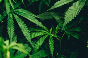 Foto på cannabisplantor